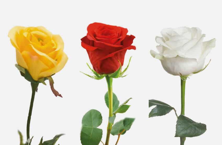 Single stem funeral roses for placing on coffin