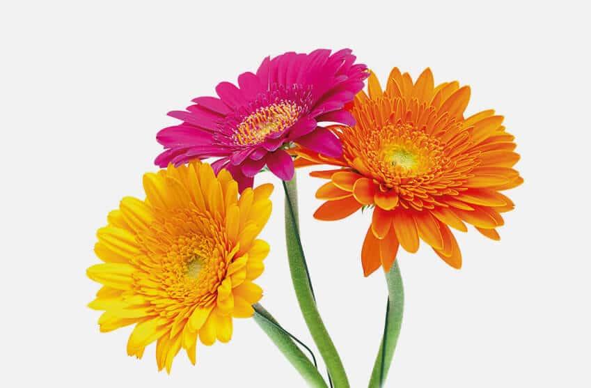 Single stem Gerbera funeral flowers